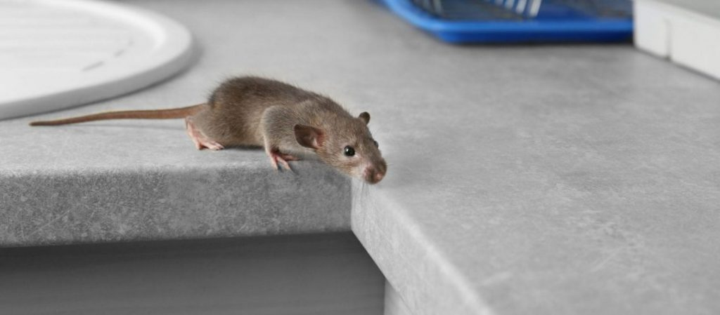 Fastest Ways to Get Rid of Rats in Your Premises